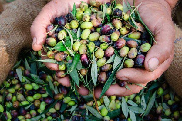agriturismo-la-scalera-prodotti-olive-olio