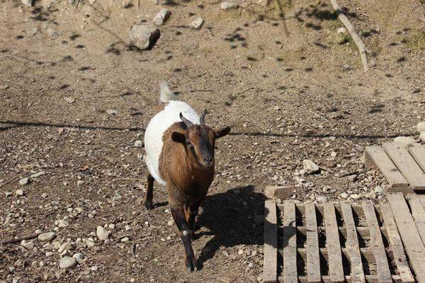agriturismo-la-scalera-prodotti-capra